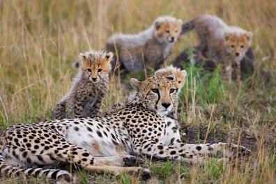 豹子头矢量图 色块